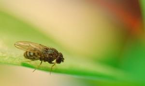 fruitfly-1340087